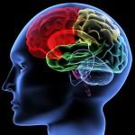 Brain © V. Yakobchuk, http://us.fotolia.com/id/6761569
